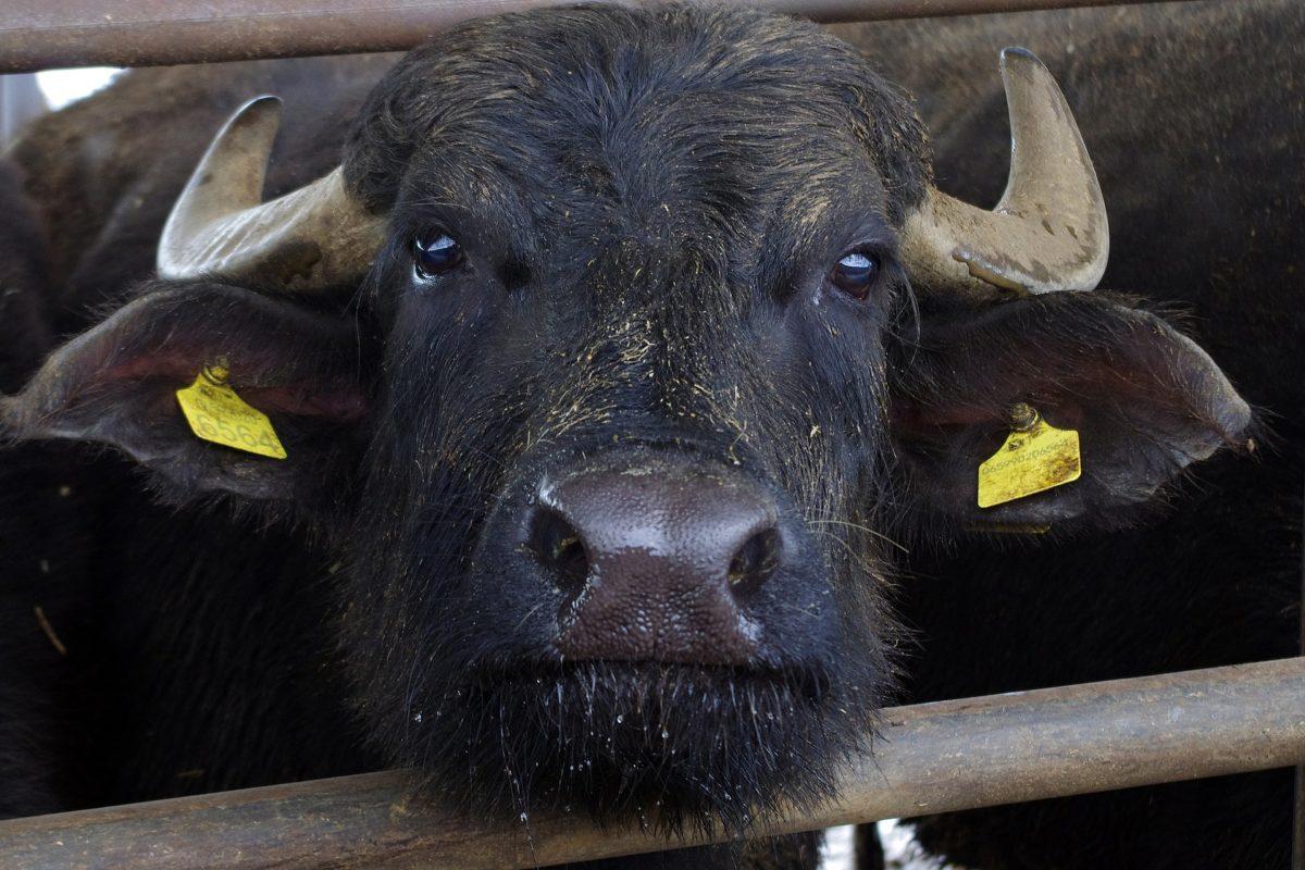 Concorso mozzarella di bufala